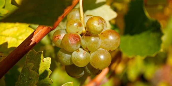 Los blancos de la Rioja Alavesa son vinos cada vez más apreciados por su calidad
