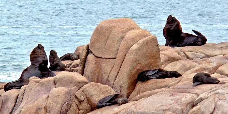 Colonia de leones marinos en Cabo Polonio