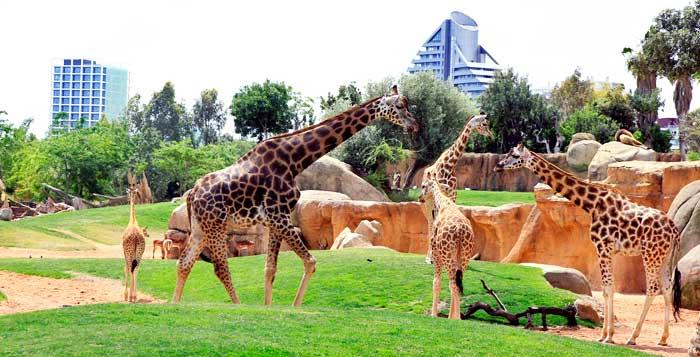 Jirafas en el Bioparc Valencia