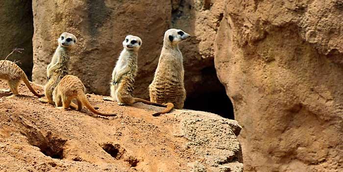 Los suricatas son unos de los animales con los que más disfrutan los niños en el Bioparc Valencia