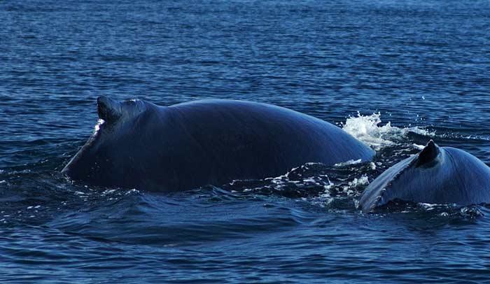 Ballenas jorobadas en Panamá