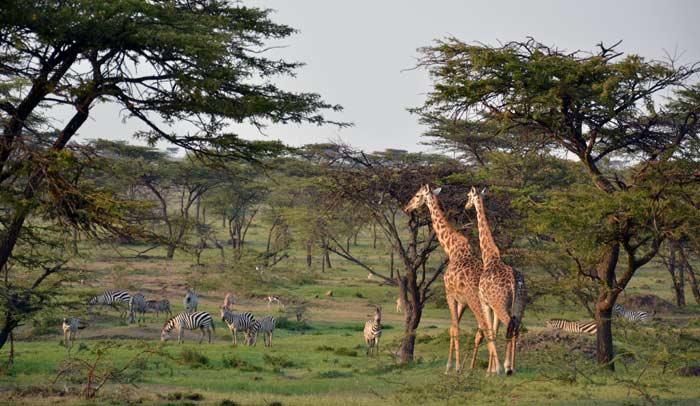 Jirafas y cebras. © Kandili Camp
