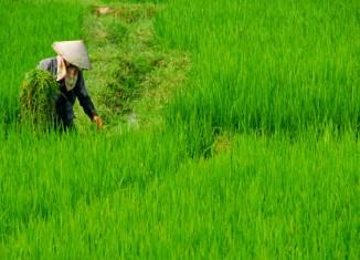 Arrozales del norte de Vietnam