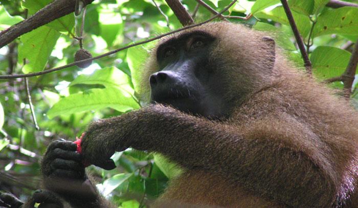 Ejemplar de primate del Parque Nacionalde Gambia (Islas Babuino)