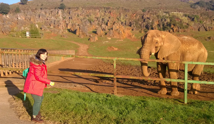 Dar de comer a un elefante es una de las actividades de la visita salvaje a Cabárceno.