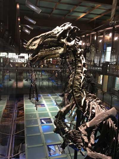 Uno de los 30 iguanodontes que se puede ver en el Museo de Ciencias Naturales de Bruselas