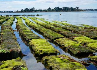 Cultivo de ostras en el golfo de Morbihan