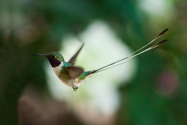 Picaflor endémico del Valle de Azapa © Ronny Belmar