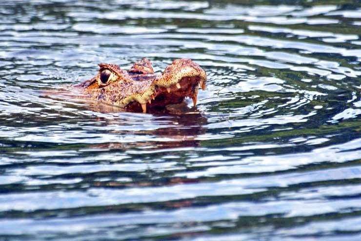 En los ríos costarricenses son muy comunes los caimanes/Foto Juan Coma