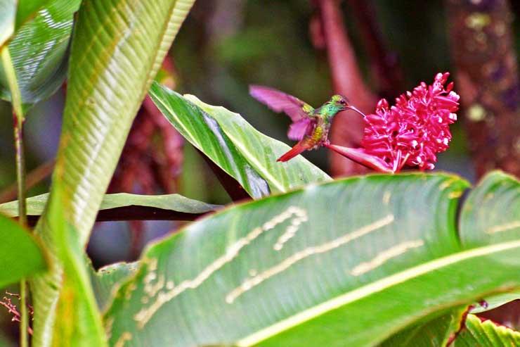 Los colibríes son aves realmente bellas/ Foto Juan Coma