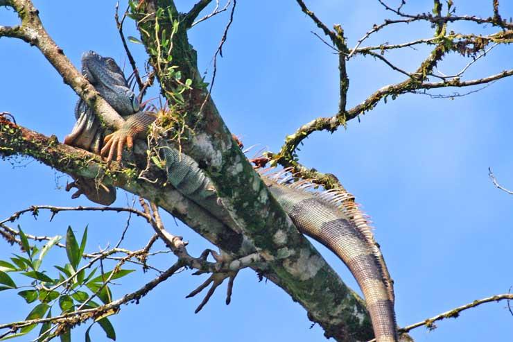La iguana es otra de las especies de la fauna costarricense. Foto / Juan Coma