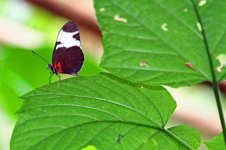 En Costa Rica hay más de 700 especies de mariposas/ Foto Juan Coma