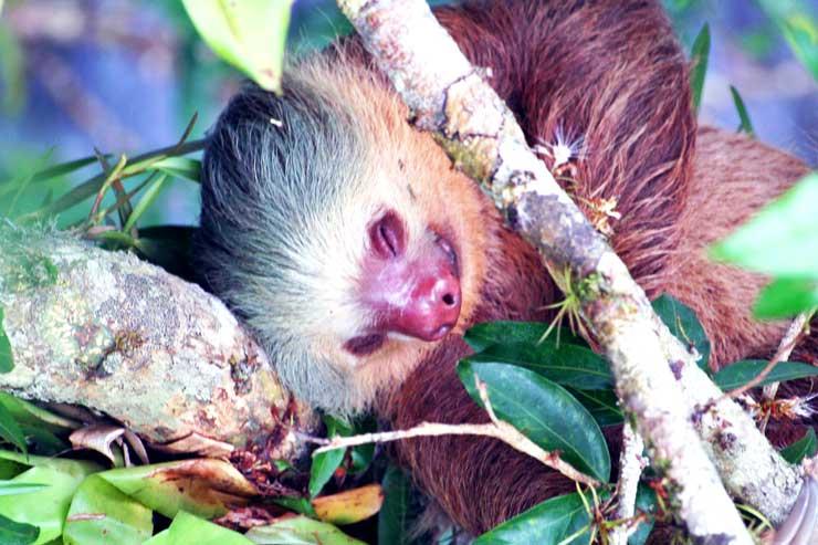 El perezoso es un animal muy curioso ya que se pasa gran parte del día dormido. Foto Juan Coma