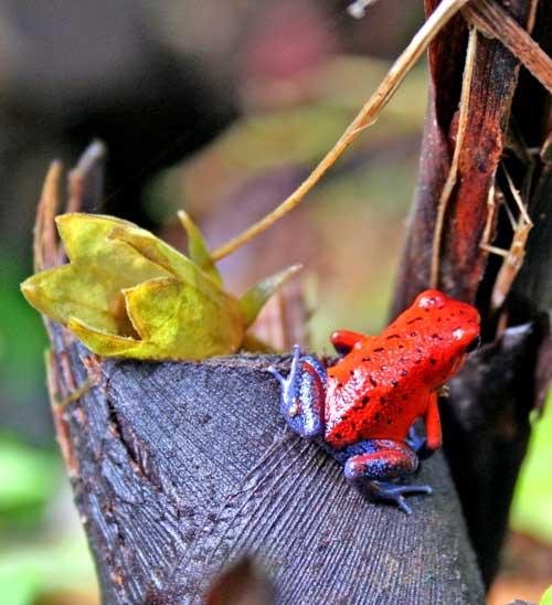 La rana roja, más conocida como blue jeans, es una de les especies de anfibios más típicas de la fauna costarricense/Foto Juan Coma