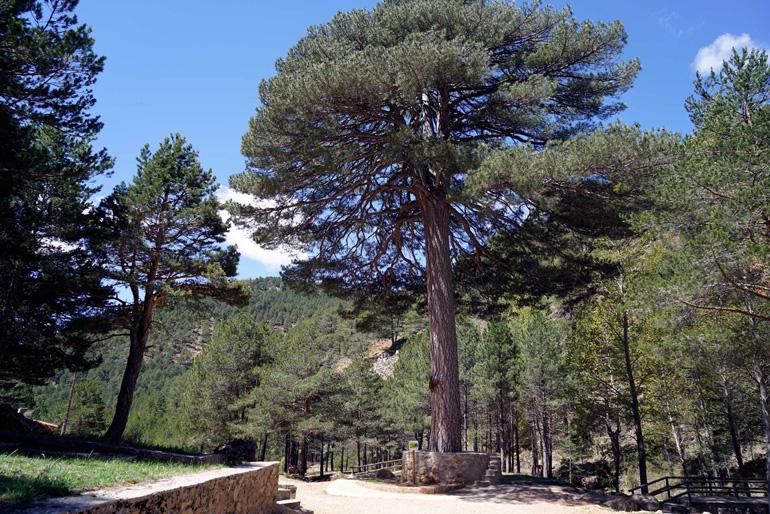 El Pino del Escobón es uno de los 13 árboles monumentales de la comarca de Gúdar-Javalambre