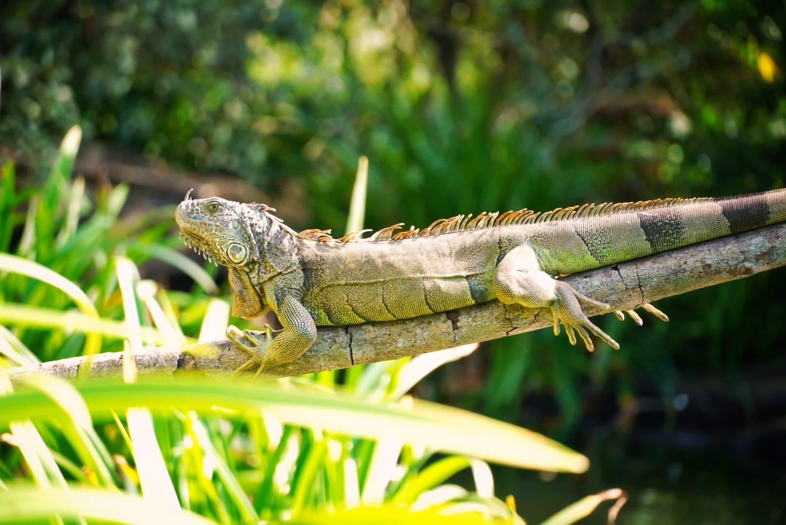 Iguana en La Tovara
