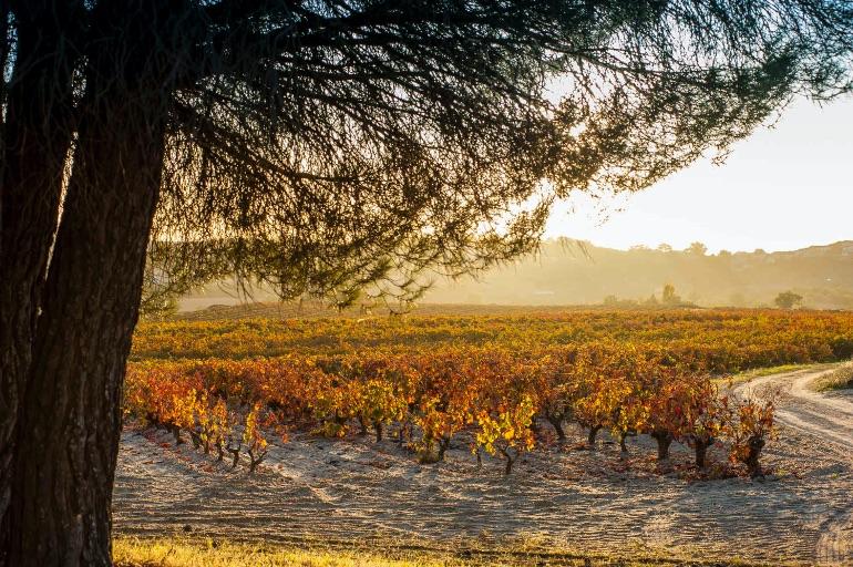 Viñedos de Ribera de Duero en otoño