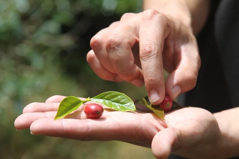 En Chiriquí se produce café de calidad