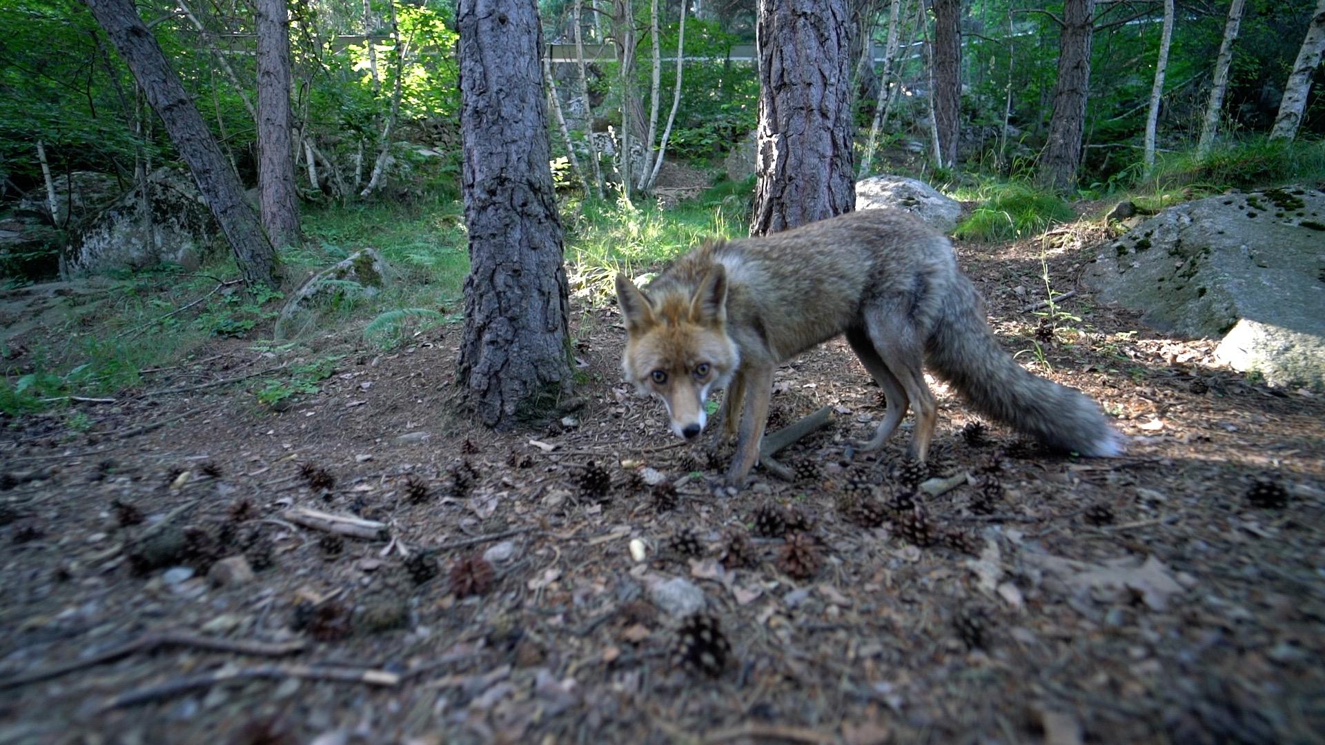 El zorro Christopher es uno de los animales más emblemáticos del centro Món Natura Pirineus