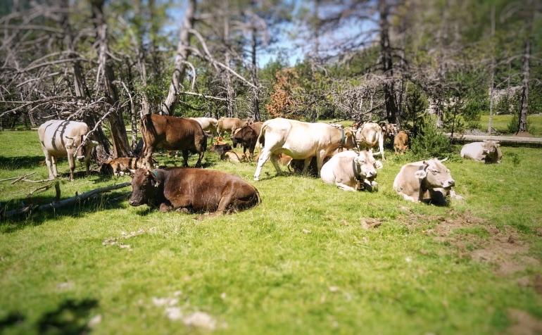 Las vacas pastan a sus anchas por el Parque Nacional de Aigüestortes i Estany de Maurici