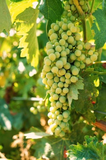 En La Legua aprendimos que las uvas pequeñas son las que dan mejores vinos