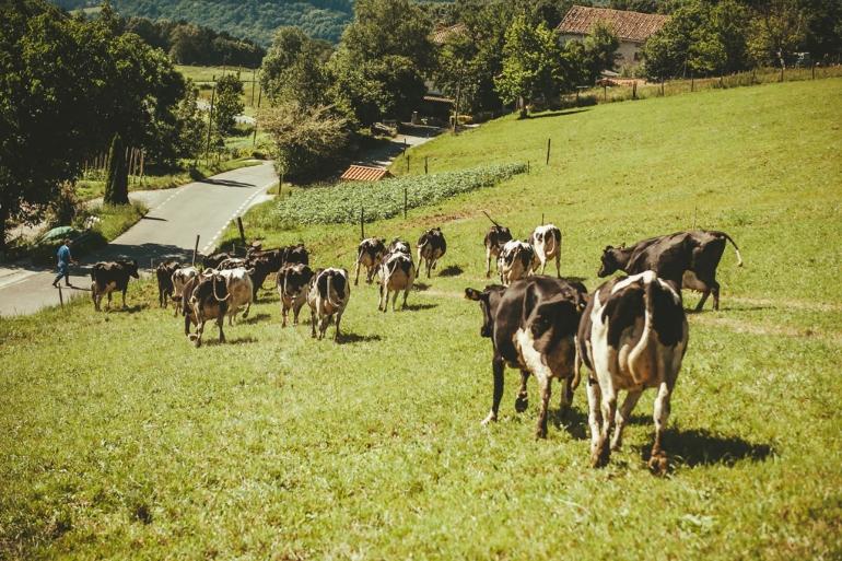 Las vacas de Larreta pastan con vistas al Monte Txindoki