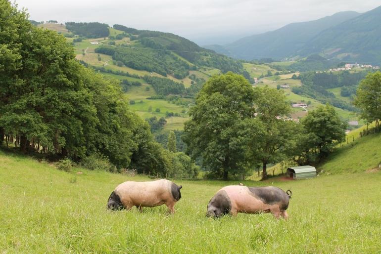 Los cerdos orejudos tienen unas manchas negras muy características