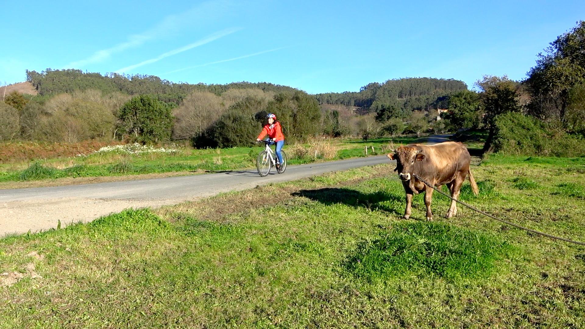 Las vacas siempre quedan bien en los paisajes de Galicia