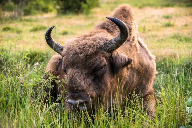 Bisonte europeo en Paleolítico Vivo, en Salgüero de Juarros